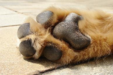 Hundepfote eines Golden Retrievers